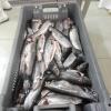 Пъстървата, желана и предпочитана риба 7